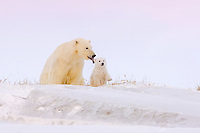 polar bear, Ursus maritimus, mother feeding on grass with her newborn cub to get their digestive systems going, mouth of Canning River along the Arctic coast, eastern Arctic National Wildlife Refuge, Alaska, polar bear, Ursus maritimus