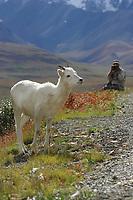 Photographer takes pictures of a dall sheep ewe along the Denali Park road, Denali National Park, Alaska.