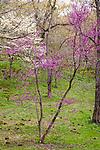 Dogwood and Redbud at the Arnold Arboretum in the Jamaica Plain neighborhood, Boston, Massachusetts, USA