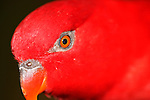 Red Lory-Eos borneo