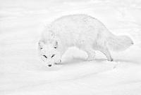 Vulpes lagopus<br /> <br /> An arctic fox on the tundra