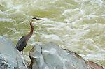 Great Blue Heron, Potomac River, Great Falls Park, Fairfax County, Virginia