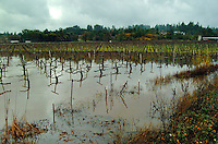 A flooded vineyard after heavy rains in Sonoma County California in late December 2001