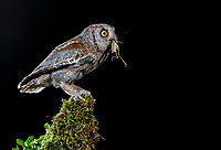 Eurasian Scops Owl (Otus scops). Adult at night perched with prey. Salamanca, Castilla y León, Spain