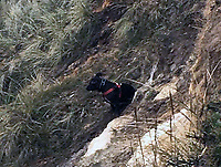 BNPS.co.uk (01202 558833)<br /> Pic: HengistburyHeadNCI/BNPS<br /> <br /> Tia stck on a ledge.<br /> <br /> A dog that plummeted 50ft off a cliff while chasing a bird has had a miracle escape after emerging from the ordeal unscathed.<br /> <br /> Tia, a Staffordshire Bull Terrier, had to be rescued after tumbling over the edge of the 120ft cliff at Hengistbury Head in Bournemouth, Dorset.<br /> <br /> She landed on a ledge unharmed, much to the relief of her owner Michelle Senjack who watched helplessly from the top.