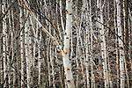 Autumn, beech-birch forest near Champlain Mountain in Acadia National Park, ME, USA