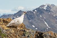 Rock Ptarmigan, Southcentral Alaska.
