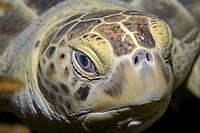 Green Sea Turtle, Cheloniidae Chelonia mydas