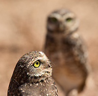 We saw six different species of owls during this trip, starting with these Burrowing owls in the southern Amazon.