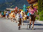 Oesterreich, Tirol, Brixental, Westendorf: Almabtrieb | Austria, Tyrol, Brixental, Westendorf: return of livestock from high alpine summer pastures