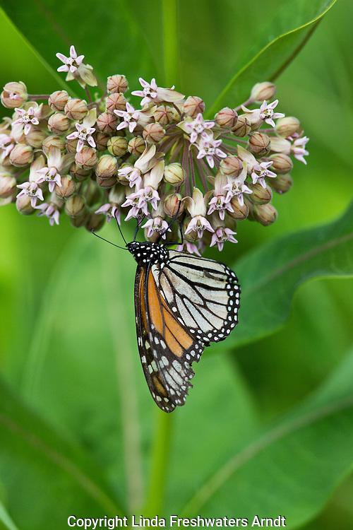 Monarch butterfly feeding on common milkweed.