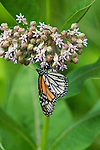 Monarch butterfly feeding on common milkweed.