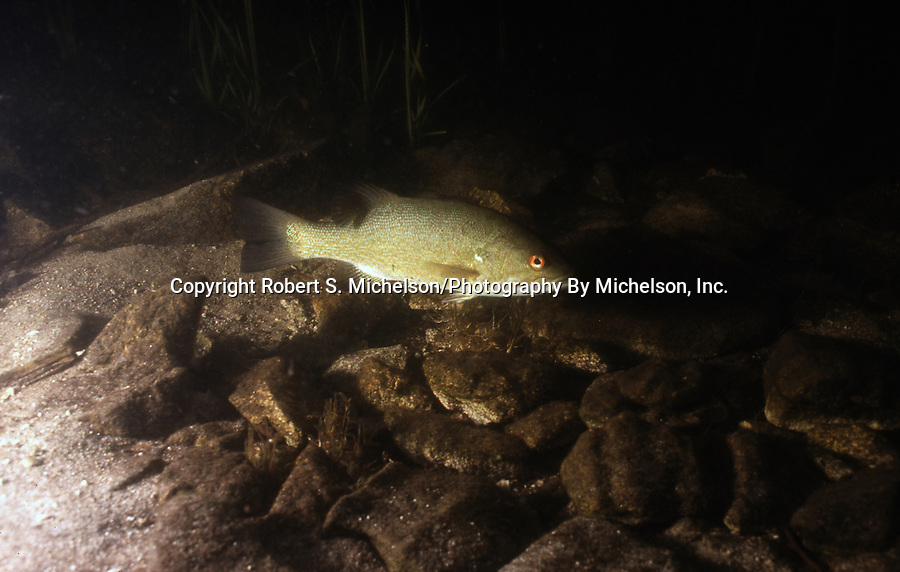 Smallmouth Bass guardian male on nest with eggs