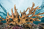 Russell Islands, Solomon Islands; a colony of acropora staghorn corals attached to the colorful reef wall with blue water in the background and the sun overhead