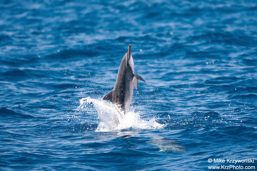 Hawaii Spinner Dolphin leaping out of water, West Oahu, Hawaii