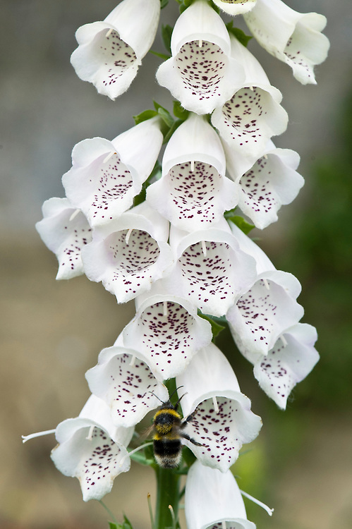 Bee feeding on white foxglove (Digitalis purpurea), early June.