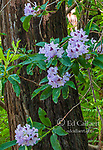 Rhododendron, Redwood, Fern Canyon Garden, Mill Valley, California