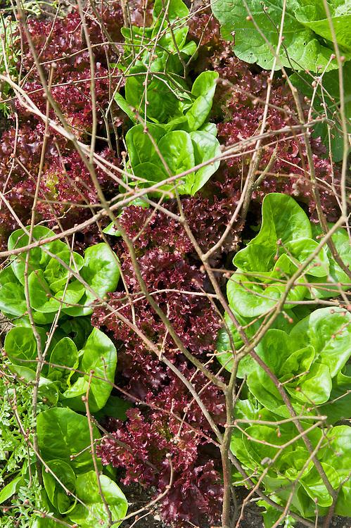 Lettuces 'Little Gem'  and 'Lollo Rossa', mid June. Hazel twigs help deter birds.