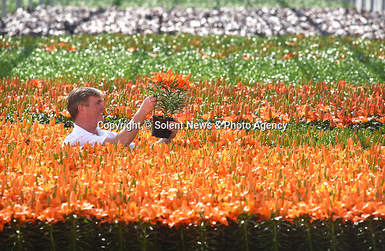 """Pictured:  Rory Paton of Pinetops Nurseries, examines the latest stock of Orange Joy.<br /> <br /> Pinetops Nurseries in Lymington, Hants is a family business established in 1959 by the Paton family. The nurseries weekly crop consists of 6,000 oriental lillies and 2,000 hydrangeas, which twins Stuart and Ian nurture and tend to whilst Rory and his mum Jean sell the plants. <br /> <br /> The coronavirus pandemic has stalled sales at the nursery, as the nationwide lockdown has forced the closures of all garden centres. However the nursery has found that the business sales to supermarkets are up on last year.<br /> <br /> Mr Paton said """"With the hydrangeas we've been managing pretty well thanks to the supermarkets we already supply to, but the lillies sales are horrendous - about 90% down.""""<br /> <br /> In order to keep the business afloat during the crisis, Rory has had to resort to using the flowers grown at the nursery as compost as they are unable to source the the supplies themselves.  <br /> <br /> """"We end up composting the lillies. If we can't sell it, we've got to bin it, and when they are beautiful and perfect, that's really awful"""".A family friend has also created a new web shop, www.solentgrowers.co.uk for Pinetops and two other nurseries in the area to help boost sales.<br /> <br /> © Simon Czapp/Solent News & Photo Agency<br /> UK +44 (0) 2380 458800"""