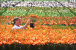 "Pictured:  Rory Paton of Pinetops Nurseries, examines the latest stock of Orange Joy.<br /> <br /> Pinetops Nurseries in Lymington, Hants is a family business established in 1959 by the Paton family. The nurseries weekly crop consists of 6,000 oriental lillies and 2,000 hydrangeas, which twins Stuart and Ian nurture and tend to whilst Rory and his mum Jean sell the plants. <br /> <br /> The coronavirus pandemic has stalled sales at the nursery, as the nationwide lockdown has forced the closures of all garden centres. However the nursery has found that the business sales to supermarkets are up on last year.<br /> <br /> Mr Paton said ""With the hydrangeas we've been managing pretty well thanks to the supermarkets we already supply to, but the lillies sales are horrendous - about 90% down.""<br /> <br /> In order to keep the business afloat during the crisis, Rory has had to resort to using the flowers grown at the nursery as compost as they are unable to source the the supplies themselves.  <br /> <br /> ""We end up composting the lillies. If we can't sell it, we've got to bin it, and when they are beautiful and perfect, that's really awful"".