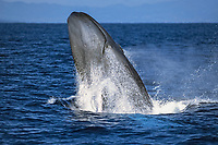 blue whale, Balaenoptera musculus, breaching, Azores, Portugal, Atlantic Ocean