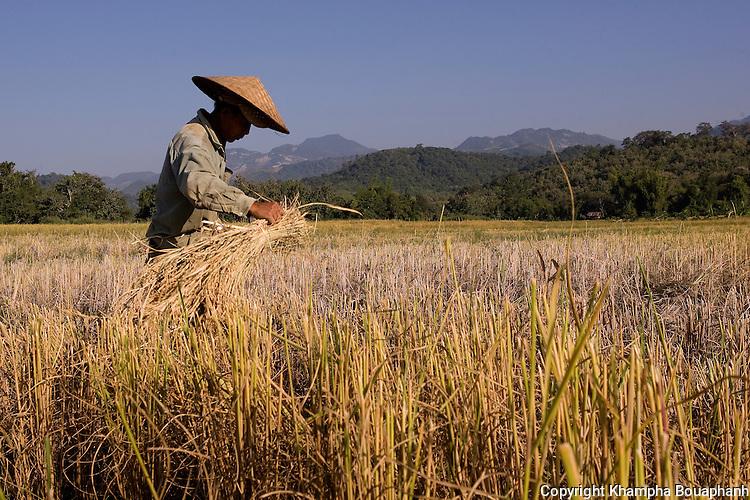 A rice farmer harvest his field near Luang Prabang, Laos on  Novemeber 6, 2009.   (Photo by Khampha Bouaphanh)