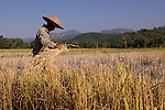 A rice farmer harvest his field near Luang Prabang, Laos on  Novemeber 6, 2009.   (Photo by Khampha Bouaphanh)