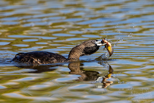 Pied-Billed Grebe Hunting, Washington