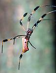 Golden Orb Web Spider-Everglades National Park