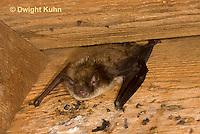 MA20-587z  Little Brown Bats, Myotis lucifugus