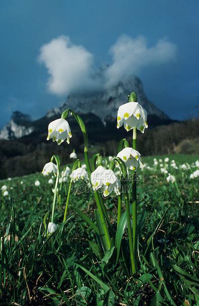 Spring Snowflakes, Leucojum vernum, blooming with Mythen Mountains in background, Schwyz, Switzerland, Europe