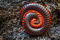 Giant Fire Millipede {Aphistogoniulus sp} coiled in defence. Lowand rainforest, Masoala Peninsula National Park, north east Madagascar.