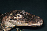 american alligator medium shot of head and neck facing right in water