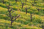 Shenandoah Valley vineyards, winter...Bell Road.