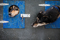 Iditarod Vet Check in Wasilla, Alaska<br /> Iditarod Sled Dog Race 2014<br /> Jason Mackey's dogs, Barb (left) and Laser (right) hang out in the safety of their dog boxes during the race Vet Check at Iditarod headquarters in Wasilla, Alaska on Wednesday, February 26, 2014.<br /> <br /> PHOTO (c) BY JEFF SCHULTZ -- REPRODUCTION PROHIBITED WITHOUT PERMISSION