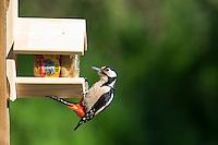 Buntspecht an der Vogelfütterung, Erdnussbutter, Bunt-Specht Specht, Spechte, Dendrocopos major, Great Spotted Woodpecker, Woodpeckers. Pic épeiche. Ganzjahresfütterung, Vögel füttern im ganzen Jahr, Vogelfutter der Firma GEVO