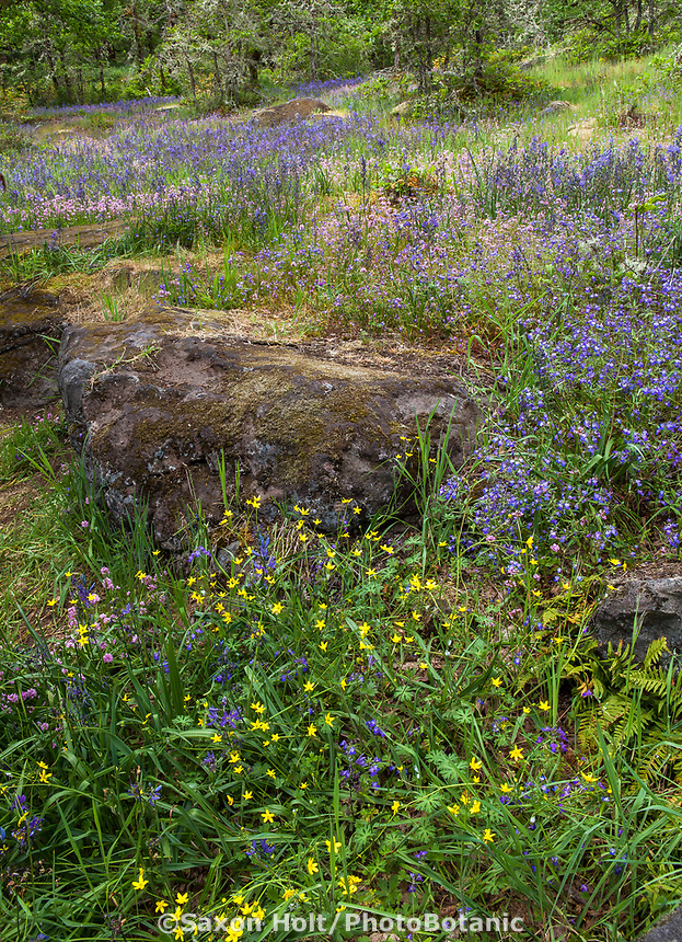 Rock outcrop in wildflower meadow with Ranunculus occidentals - Western Buttercup - Camassia Nature Preserve, The Nature Conservancy protected park, Portland Oregon