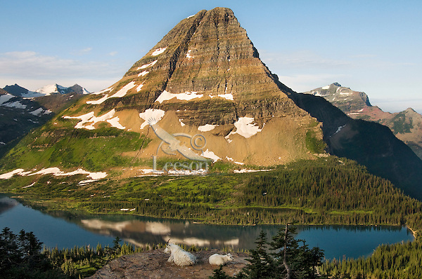 Mountain Goat (Oreamnos americanus) nanny and kid overlooking Hidden Lake and Bearhat Mountain in Glacier National Park, Montana.  Summer.