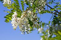 Robinie, Gewöhnliche Scheinakazie, Scheinakazie, Schein-Akazie, Falsche Akazie, Robinia pseudoacacia, False Acacia, Black Locust, Robinia, Le Robinier faux-acacia, Acacia