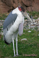 0205-08zz  Marabou Stork (Only Stork that eats Carrion), Leptoptilos crumeniferus © David Kuhn/Dwight Kuhn Photography