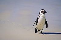 african penguin, Spheniscus demersus, walking on the beach, Gansbaai, South Africa, Atlantic