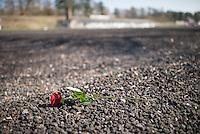 Mehrere hundert Menschen kamen zur Feierlichkeit anlaesslich des 70. Jahrestages der Befreiung des Frauen-Konzentrationslagers Ravensbrueck, unter ihnen auch die Bundesminsiterin fuer Bildung, Johanna Wanka. Von den ueber 120.000 Frauen und 20.000 Maennern, die im Nationalsozialismus in dem Konzentrationslager inhaftiert waren leben 70 Jahre nach der Befreiung durch die Rote Armee nur noch 160. Viele der Ueberlebenden waren u.a. aus Frankreich, Norwegen, Polen, Spanien, Slovakei und Italien angereist.<br /> Im Anschluss an die offiziellen Reden wurden Kraenze am Manhmal am Schwedter See niedergelegt. In dem See wurde in der NS-Zeit die Asche der ermordeten gekippt.<br /> Im Bild: Eine Rose auf dem ehemaligen Lagergelaende.<br /> 19.4.2015, Ravensbrueck/Brandenburg<br /> Copyright: Christian-Ditsch.de<br /> [Inhaltsveraendernde Manipulation des Fotos nur nach ausdruecklicher Genehmigung des Fotografen. Vereinbarungen ueber Abtretung von Persoenlichkeitsrechten/Model Release der abgebildeten Person/Personen liegen nicht vor. NO MODEL RELEASE! Nur fuer Redaktionelle Zwecke. Don't publish without copyright Christian-Ditsch.de, Veroeffentlichung nur mit Fotografennennung, sowie gegen Honorar, MwSt. und Beleg. Konto: I N G - D i B a, IBAN DE58500105175400192269, BIC INGDDEFFXXX, Kontakt: post@christian-ditsch.de<br /> Bei der Bearbeitung der Dateiinformationen darf die Urheberkennzeichnung in den EXIF- und  IPTC-Daten nicht entfernt werden, diese sind in digitalen Medien nach §95c UrhG rechtlich geschuetzt. Der Urhebervermerk wird gemaess §13 UrhG verlangt.]