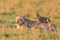 Lioness (Panthera leo) with cubs, lying in grass, Masai Mara National Reserve, Kenya, Africa
