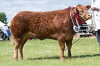Rutland County Show 2017<br /> Commercial champion Jasmine owned by TA & LC Lyon & Son<br /> Picture Tim Scrivener 07850 303986<br /> ….covering agriculture in the UK….