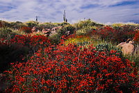 Red wildflowers blooming in the spring desert of Lost Dutchman State Park Arizona