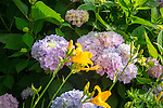 hydrangea and yellow lily in garden.