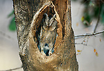 Collared scops owl, Ranthambore National Park, India