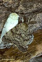 GY04-001f  Gypsy Moth - male and female mating on sugar maple tree -  Lymantria dispar