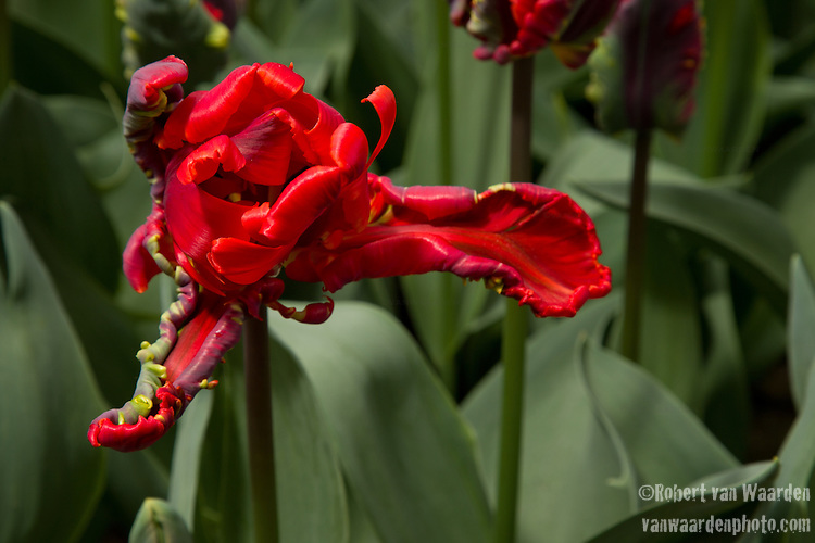The tulip Rococo at the Keukenhof in the Netherlands.