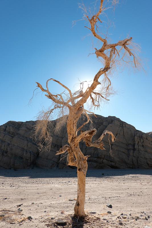 Lone tree in canyon. Near Palm Desert, California